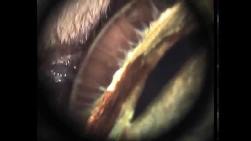 Пигментный невус радужной оболочки у беспородного кота