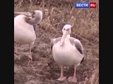 Унесенные ветром стаю пеликанов занесло на Алтай