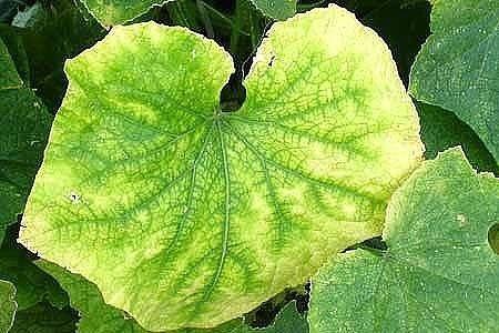 6 советов, чтобы листья огурцов не желтели!