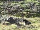 Black-capped marmot / Камчатский, или черношапочный сурок / Marmota camtschatica