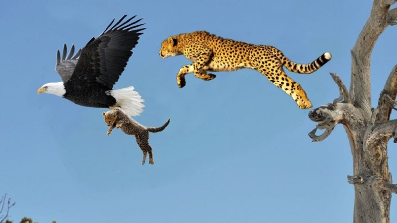 Mother Cheetah Save His Baby Fail and Hunting Eagle To Revenge
