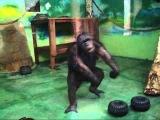 Ржачь шимпанзе танцует и поёт