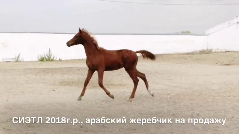 Продажа лошадей конефермы Эквилайн, тел., WhatsApp 79883400208 (СИЭТЛ 2018г.р.)