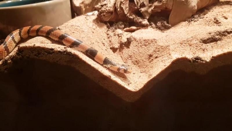 видели как змея роет яму)