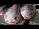 Самое уродливое существо в мире Рыба капля