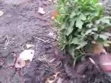 Хранение хризантем