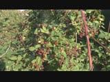 Ежевика Торнфри - урожай в 2018 году