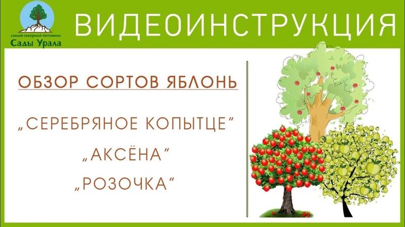 ОБЗОР СОРТОВ ЯБЛОНЬ: «Серебряное копытце», «Розочка», «Аксёна».