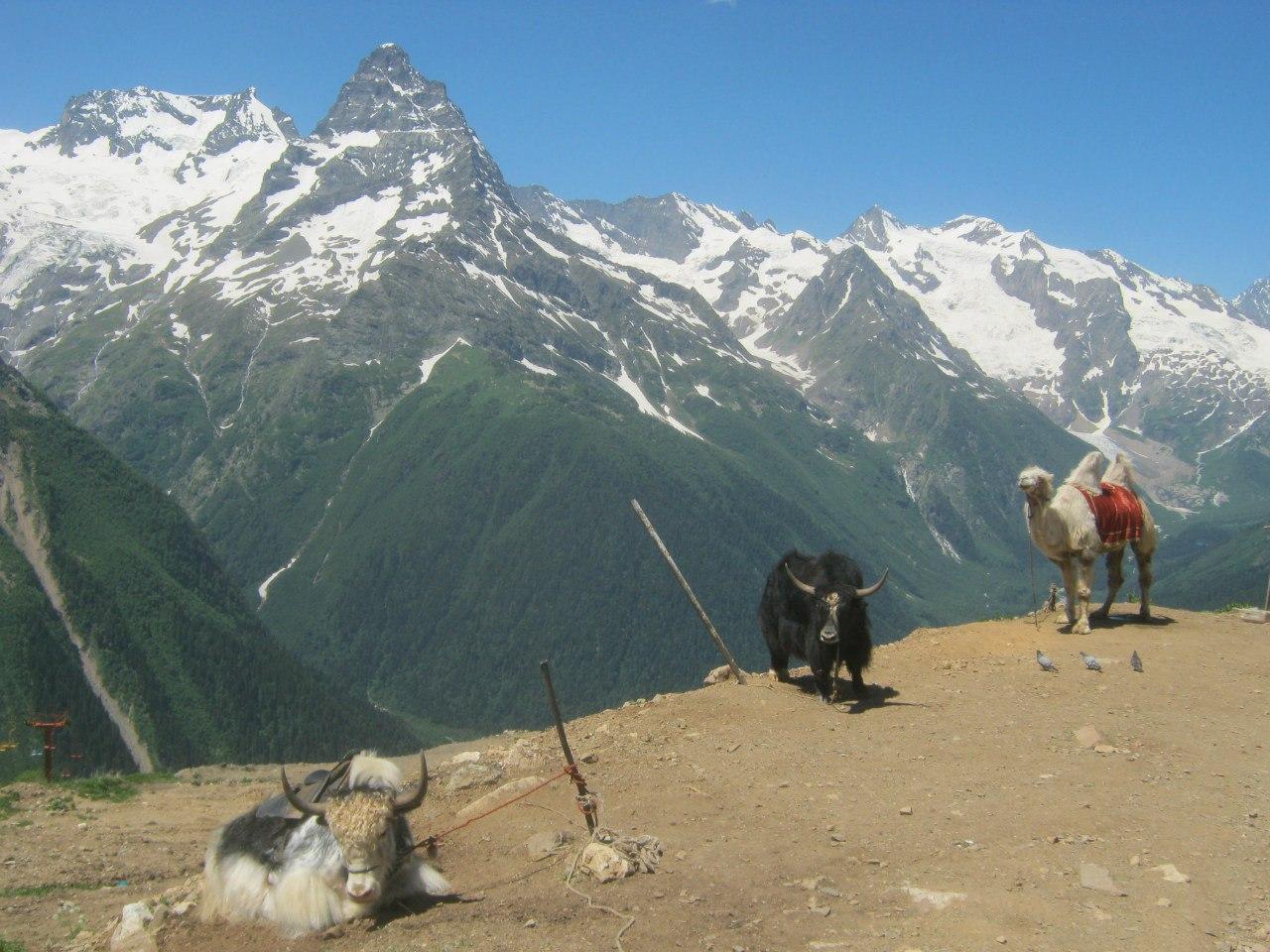 Яки и верблюд в Архызе