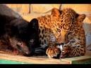 Как кот Рыжик жаловался леопардам Шакире и Топазу что его не любят !