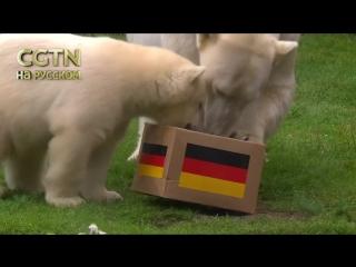 Германия обыграет Швецию. По крайней мере, в этом уверены полярные медведи из зоопарка города Гельзенкирхен