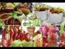 Коллекция хищных растений от Интернет-магазина хищных растений