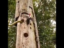 Woodpecker attacks Snake to save Babies
