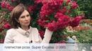 Розарий в парке Planten un Blomen Германия