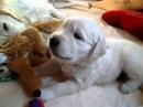 Golden Pups Kattyval