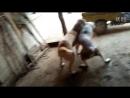 Активный бой Волкодавов в Китае