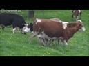 Коровы и травка