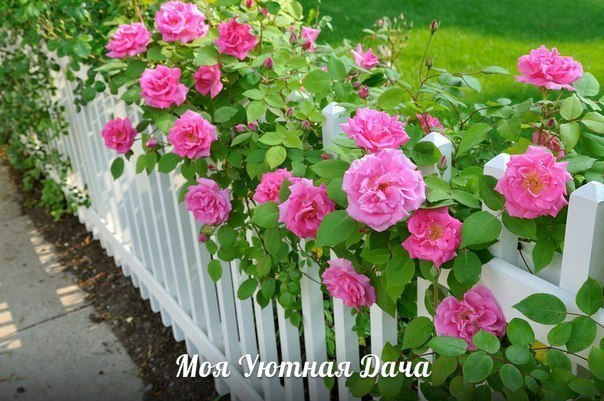 Особенности посадки роз Розы с открытой корневой системой нужно высаживать в грунт весной, до распускания почек. Продающиеся в контейнерах или в полиэтиленовой упаковке розы, можно сажать в