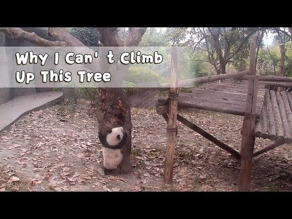 Qi Yi: Why am I the only one that can't climb up this tree? | iPanda