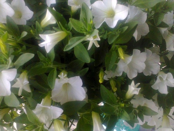 🍃🌺🍃🔸❓🔸🍃🌺🍃 Подскажите, пожалуйста, как называется этот цветок? Как за ним ухаживать летом и зимой? Вопрос задала Аня Череденко 🍃🌺🍃🔸❓🔸🍃🌺🍃