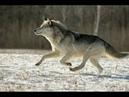 Волки Прекрастное Далёка