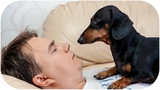 How could you do that!!! Cute and funny dachshund dog video!