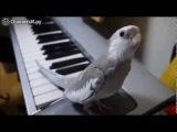 Певчий попугай свистун