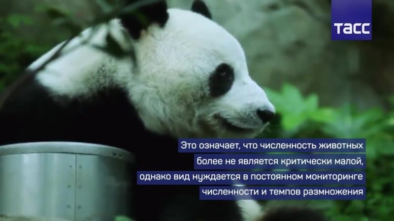 Увеличение популяции больших панд