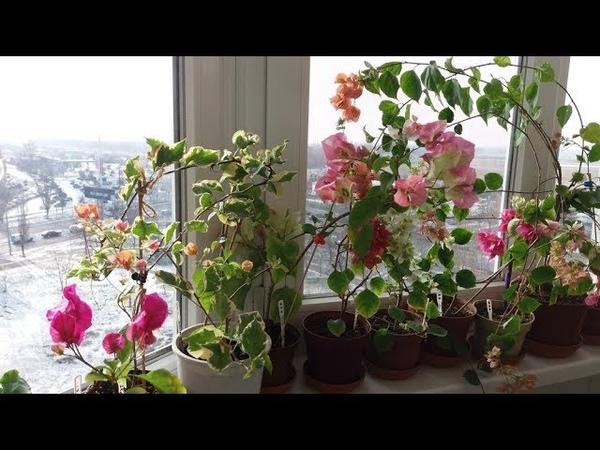 Бугенвиллия зимовка Цветение бугенвиллий зимой на балконе