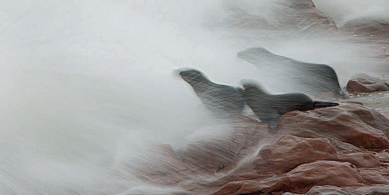 тюлени нюхают что-то волосатое