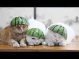 のせ猫 x スイカ帽子 Cat with Watermelon- 2014#2