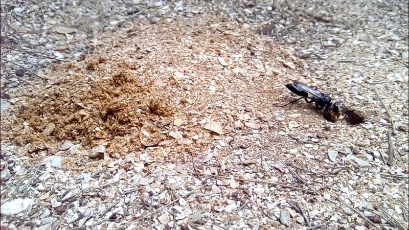 земляная оса роет норку