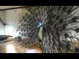 Яванский (залёный) павлин с раскрытым хвостом