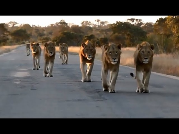 Incredible Lion Sighting ! Lion Pride with 6 Males walking down the road !