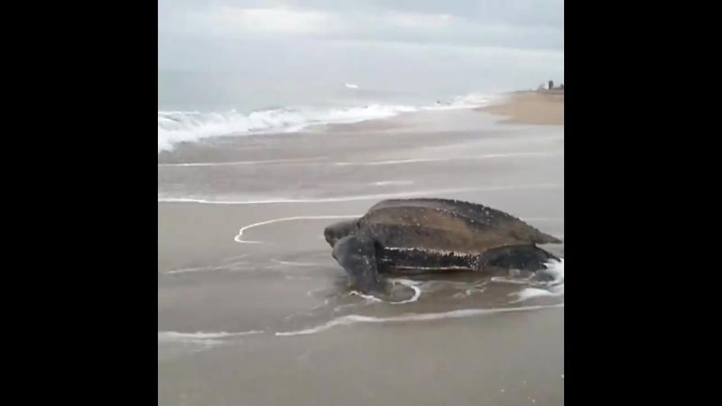Большая черепаха вылезла на сушу