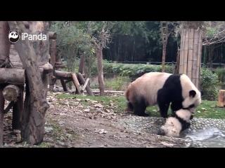 Детёныш панды очень не хочет купаться, но мама неумолима. Уморительная картина!