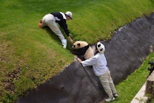 Сотрудники зоопарка помогают панде выбраться из оврага.