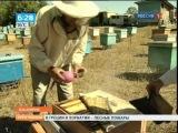 Маточное молочко башкирской пчелы на экспорт