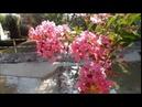 Индийская сирень Lagerstroemia indica лагерстремия цветущие кустарники Jardin 12 08 2018
