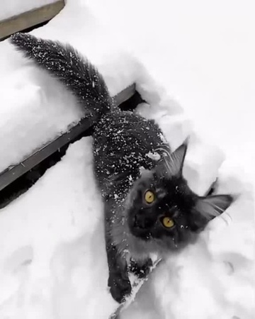 Gorgeous Maine Coon loves snow