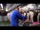 Заход коз на дойке в Голландии
