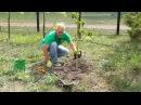 Как правильно посадить саженец