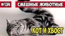 Кот и хвост. Смешные животные, подборка 134.