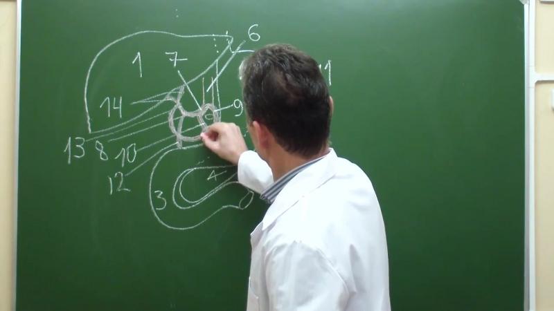 Схема кровоснабжения органов верхнего этажа брюшной полости