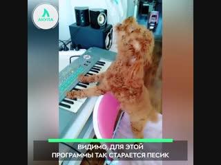 Музыкальный пудель | АКУЛА