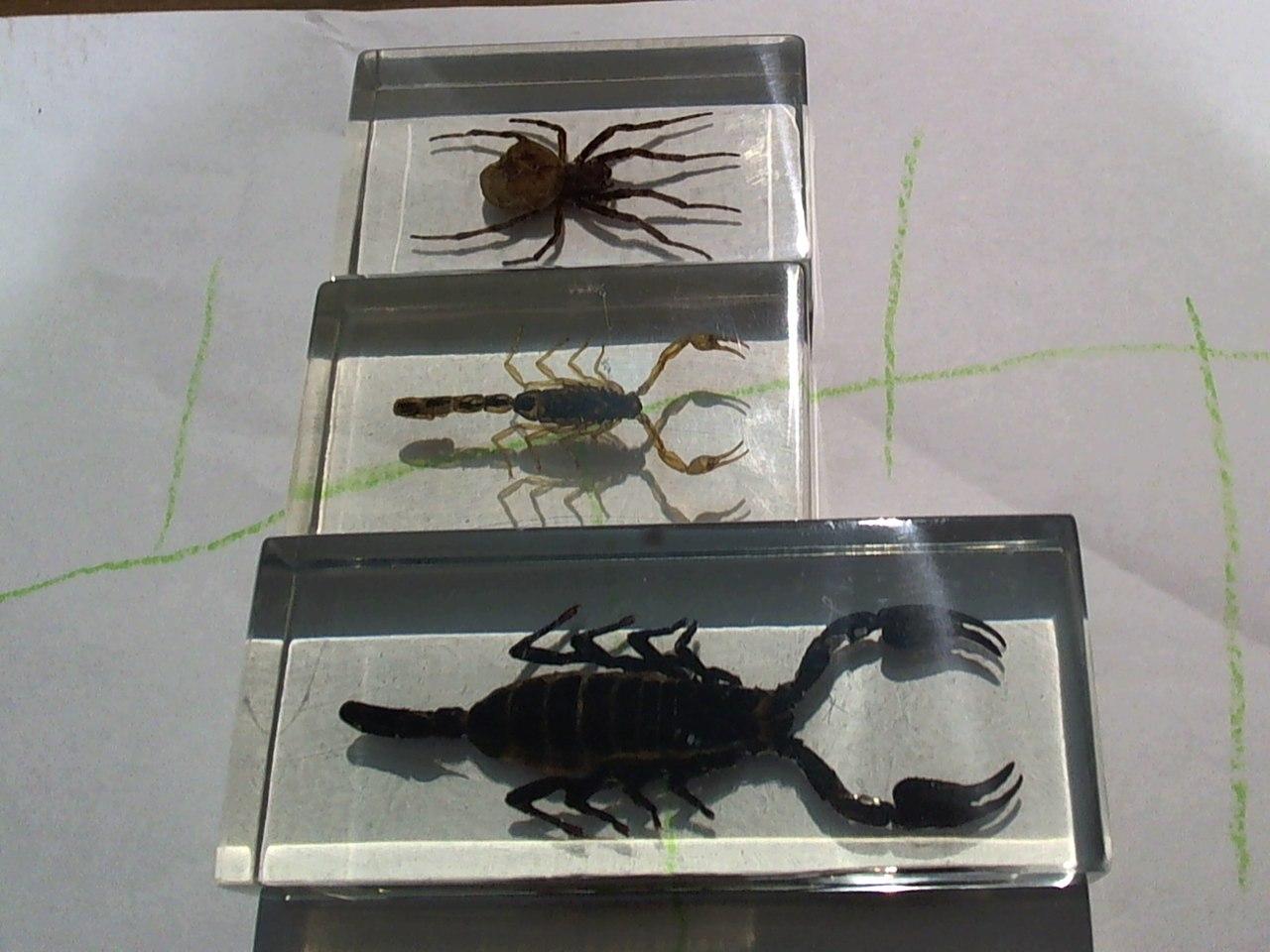 насекомые и их знакомые heterometrus sp