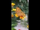 Бабочкин обед