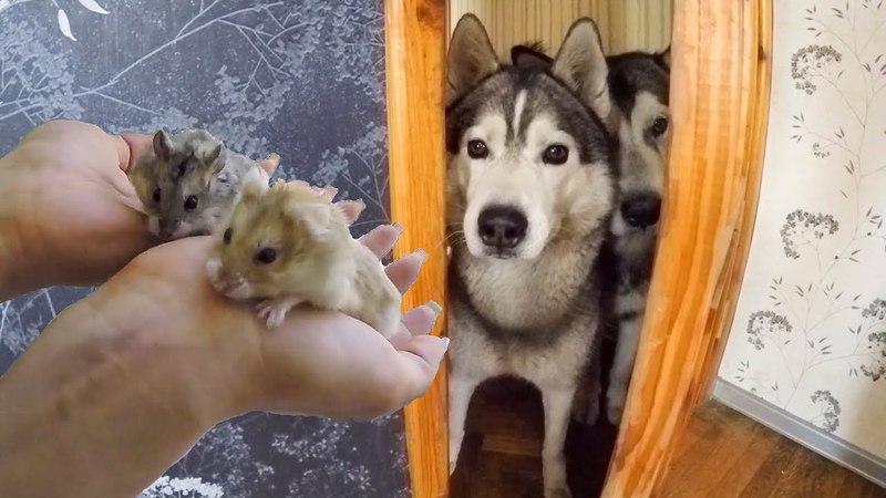 СТРЕСС Хаски и хомяки знакомятся Собаки и джунгарики в одной квартире смотреть онлайн без регистрации