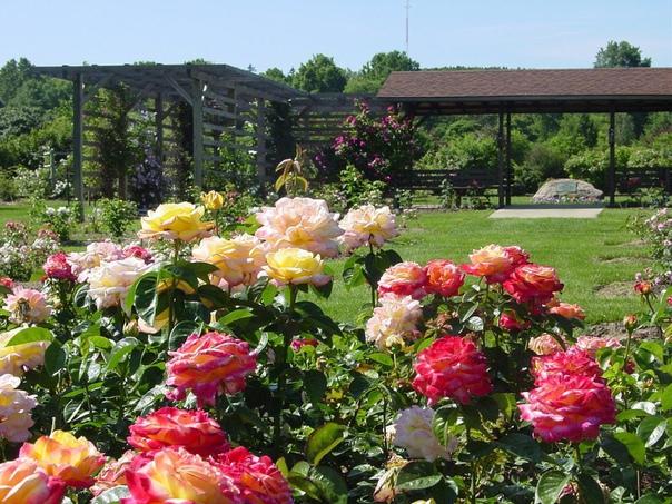 6 ошибок в выращивании роз на даче 1. сажая розу в грунт, не следует оставлять прививку на поверхности почвы. лучше углубить корневую шейку растения на 2-3 сантиметра в грунт.2. нельзя