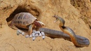 Primitive Boy Saves Turtle From Python Attack Most Amazing Wild Animal Attack Python Attack Turtle